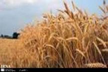 مبارزه با سن گندم در 150 هزار هکتار مزارع خراسان رضوی انجام شد