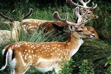 7گونه از حیات وحش آذربایجان غربی در خطر انقراض قرار دارند