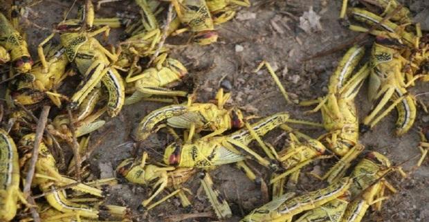 مبارزه با ملخ صحرایی در جنوب کشور به 205 هزارهکتار افزایش یافت