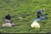 برداشت 35 هزار تن برگ سبز چای کیفی از باغ های شمال