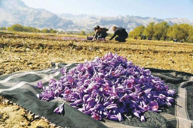 کشت گیاهان دارویی استانها قطب بندی شد