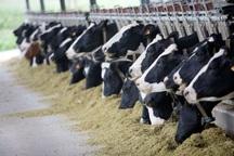 100 واحد گاوداری صنعتی شیری در استان اردبیل فعال است