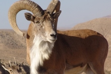 جمعیت حیات وحش استان بالغ بر 32 هزار راس انواع سم داران است