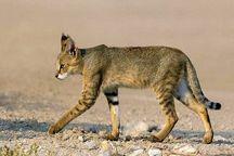 گربه جنگلی توسط محیط بانان جیرفت به طبیعت بازگردانده شد