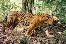 ناکامی در ببرآوری برای جنگل های مازندران