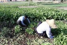 23 سبزی کار متخلف کردستانی به دستگاه قضایی معرفی شدند