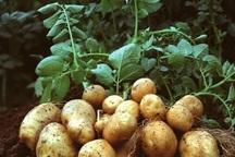 کشت سیب زمینی و چغندر قند در تربت حیدریه آغاز شد