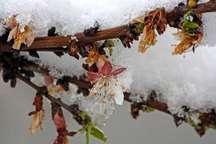 یک مسئول خراسان شمالی خواستار اتخاذ تدابیرلازم برای جلوگیری از سرمازدگی باغ ها شد