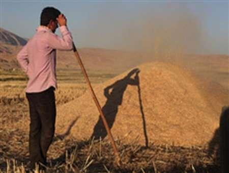 خرید تضمینی 155 هزار تن گندم مازاد بر مصرف در آذربایجان غربی