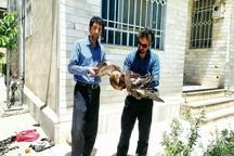 محیط بانان تکابی عقاب طلایی زخمی را نجات دادند