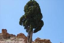 درختان کهنسال خراسان شمالی چشم به راه گردشگران بهار