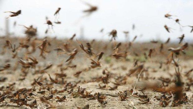 هجوم ملخ های صحرایی به کشاورزی، مراتع وطبیعت چابهار
