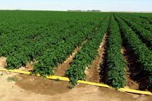 سیب زمینی کاران کردستان ارقام زود رس کشت کنند