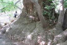درخت چنار و دودکش های جن اردبیل به ثبت ملی رسید