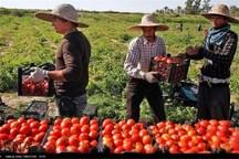 برداشت گوجه فرنگی در قصرشیرین آغاز شد