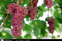 تولید 300 هزار تن محصولات باغی در استان کرمانشاه