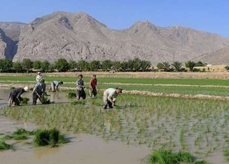 سطح زیر کشت برنج در اصفهان به یک چهارم کاهش یافته است