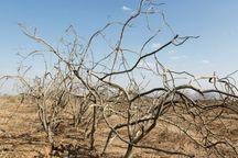 700 هکتار از باغ های چادگان در معرض خشکسالی است