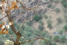 خشکسالی به 20 درصد درختان مناطق حفاظت شده گچساران خسارت زد