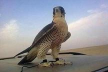 دو شکارچی متخلف پرندگان شکاری در گنبد دستگیر شدند