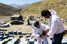 صنعت زنبورداری در استان اردبیل توسعه مییابد