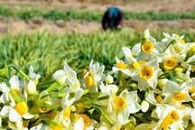 طعنه بهاری عطر گل های نرگس در زمستان مازندران
