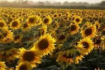 خرید تضمینی دانه روغنی آفتابگردان به 55 تن رسید