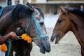 150 راس اسب در پنجمین جشنواره اسب اصیل کُرد بیجار شرکت دارند