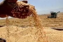 تولید 350 هزار تن گندم در آذربایجان شرقی