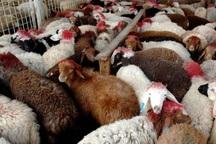 کشف 84 راس گوسفند قاچاق در آق قلا