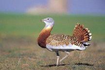 حضور گونه 'میش مرغ' در آذربایجان شرقی ثبت شد