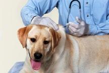 1600 قلاده سگ در خوی علیه بیماری هاری واکسینه شد