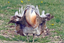 بیش از 90 درصد جمعیت کشوری میش مرغ مربوط به بوکان است