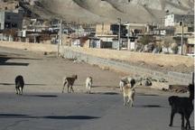 رهاسازی سگ های بلاصاحب معضل جدی شهر حسن آباد است