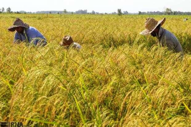 برداشت محصولات کشاورزی در بدره آغاز شد