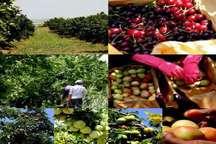 روزانه  یک هزار و 330نفر در باغ های کشت و صنعت مغان مشغول کار هستند