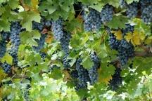 برداشت سالانه 52 هزار تن انواع انگور در باغات استان کردستان