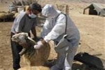 واکسیناسیون 240 هزار راس دام در استان قزوین علیه بیماری تب برفکی