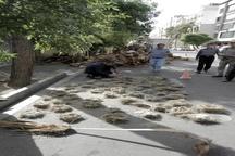 خانه خراب شدن پرندگان شیرازی در اثر هرس بی موقع درختان   شهرداری: صحنه سازی است  محیط زیست: قضیه را تا آخر پیگیری میکنیم