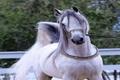 برترین های مسابقات زیبایی اسب اصیل ایرانی در اردکان معرفی شدند