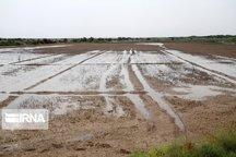 بیمه ۹۹۰میلیارد ریال غرامت به کشاورزان سیلزده خوزستان پرداخت کرد