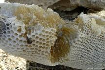 تولید عسل در کردستان 14 درصد رشد داشته است  تولید ۴۰ کیلو ژل رویال توسط زنبورداران کردستانی