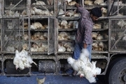 هشت تن مرغ قاچاق در شهرستان اشکذر کشف شد