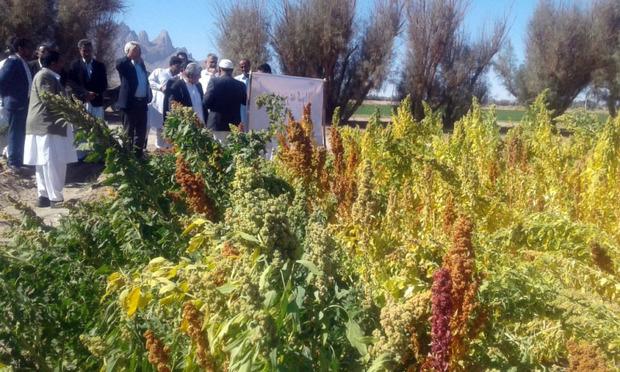 کشت الگویی گیاه دانه ای کینوا در خاش انجام شد