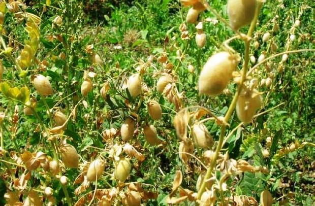 144هزار هکتار حبوبات در لرستان کشت می شود