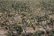 کشاورزی کاشان یک هزار و 900 میلیارد ریال زیان دید