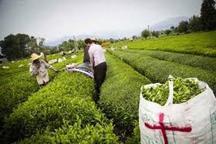 کارخانه های چایسازی برای خرید برگ سبز آماده شدند