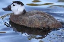 مشاهده اردک سر سفید پس از 25 سال در تالاب بین المللی چغاخور