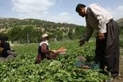 2 خبر از حوزه کشاورزی شهرستان سروآباد