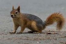 فروشنده سنجاب در میاندوآب دستگیر شد